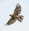 • Location - Stick Marsh<br /> • Red-shouldered Hawk in flight