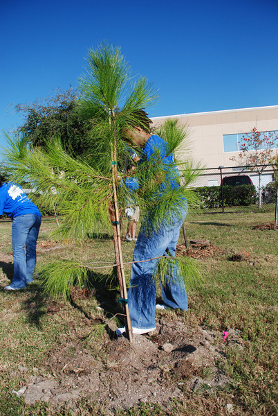 David Norwood, from the new Canel Save team in Tampa, plants a pine tree at Cypress Point Park.