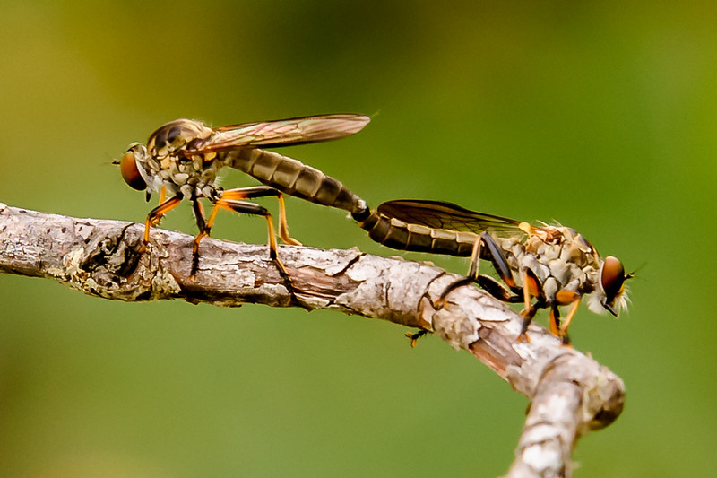 Where Robber Flies Come From