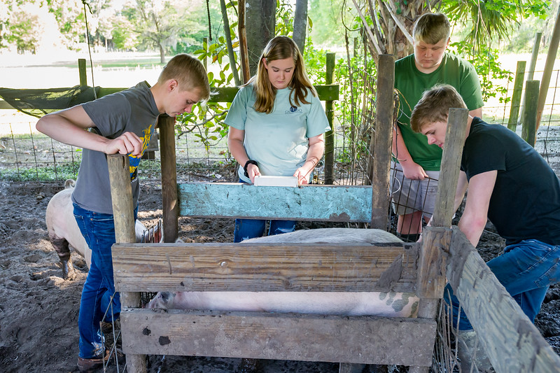 Cade Chastain, 17, from left, Madison Dunham, 16, Cooper Dunham, 13, and Morgan Chastain, 17, work together to weigh their hogs in preparation for the fair next week. They need to keep them between 240 and 290 lbs. to be eligible to compete. Fran Ruchalski/Palatka Daily News