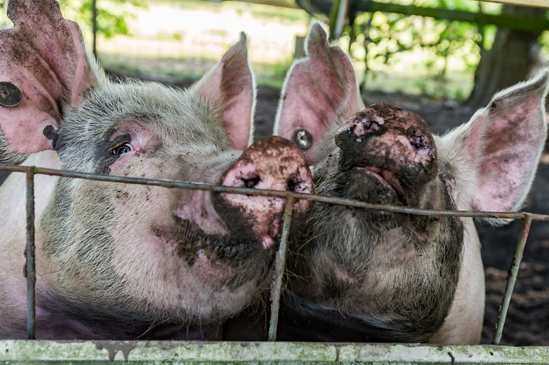 Biggins and Bubba get up close and personal for a pig selfie. Biggins belongs to Madison Dunham and Bubba belongs to Morgan Chastain. Fran Ruchalski/Palatka Daily News