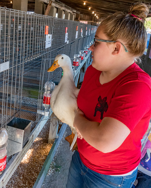Kaitlyn Bale, 12, puts one of her Pekin ducks into its cage  during check-in on Saturday morning at the Putnam County Fair. Fran Ruchalski/Palatka Daily News