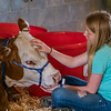 Twelve-year-old Madison Thomas sits with her Hereford heifer on Monday morning at the Putnam County Fair that she brought in on Saturday. Steers and hogs were brought in on Monday morning. Fran Ruchalski/Palatka Daily News