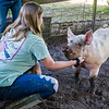 Tenth-grader Madison Dunham spends a little time with Biggins to get him comfortable around her so that she can work with him in the show ring at the fair next week. Fran Ruchalski/Palatka Daily News