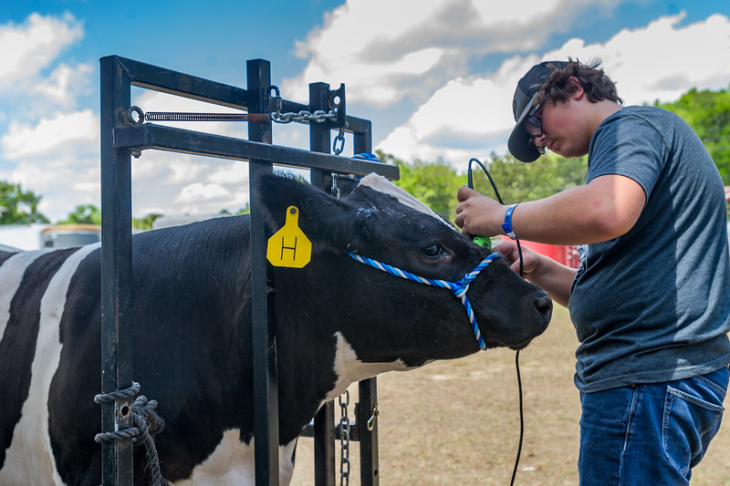Sixteen-year-old Gage Bosley gives his steer Luke a trim to get him ready to be taken into the show ring. Fran Ruchalski/Palatka Daily News