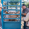 Dustin Higgins, 18, stands by as Josh Barnard and Chris Adams weigh in his 1355 lb. Shorthorn Charolais steer on Monday morning at the Putnam County Fair. While heifers, cow/calf pairs, poultry and rabbits were brought in on Saturday, 25 steers and 140 hogs were brought to the fair on Monday. Fran Ruchalski/Palatka Daily News