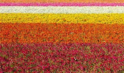 Carlasbad Flower Fields