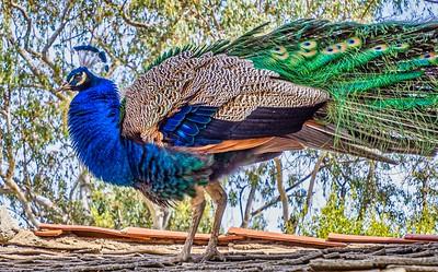 Leo Carrillo Ranch...Peacock