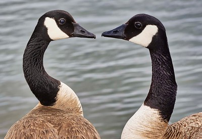 Canada Geese:  tete a tete