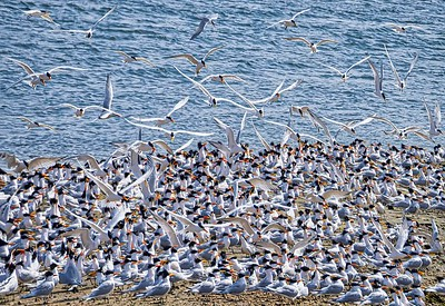 California Least Terns are an endangered species ?why now