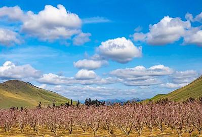 Landscape of peach grove