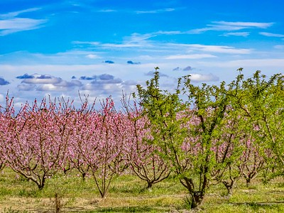 Peach bloom and green maturing trees