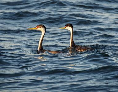 Flocks of paired Mergansers cruised the lake.