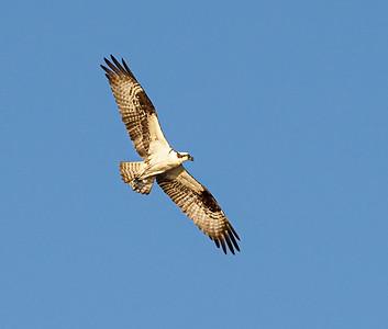 Osprey hunted
