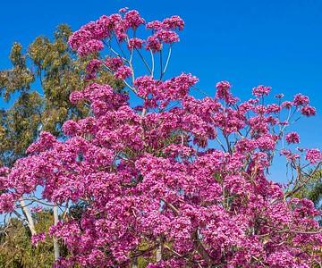 SouthCoastBotanic_Cherry Tree-1