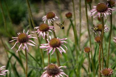 jumbo bees
