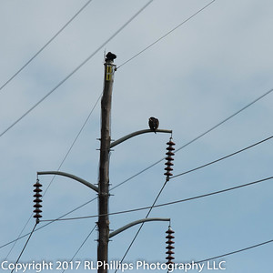 Turkey Buzzards on the wires.
