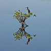 """ Reflection of a Reddish Egret on Mangroves"""