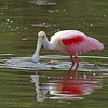 """ Spoonbill Reflection""<br /> <br /> 18 x 22 Framed"