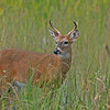 """ Buck in the Glades""<br /> white tail deer<br /> <br /> 22 x 18 Framed"