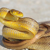 """ Yellow Rat Snake""<br /> <br /> 18 x 22 Framed"