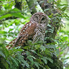 """ Winky""<br /> Barred Owl<br /> <br /> 18 x 22 Framed"