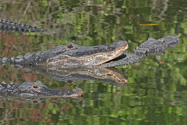 """ Gator Reflections""<br /> American Alligators<br /> <br /> 20 X 44 Framed<br /> <br /> When the Alligator pools start to dry up from lack of rain, the alligators are crowed into these small ponds and start to climb on each other, the reflections were caught due to there being so many in such a small area."