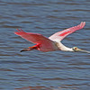 """ Spoonbill in flight""<br /> <br /> 20 x 30 Framed"
