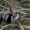 """Anhinga Drying it's Wings""<br /> <br /> 14 x 20 Framed"