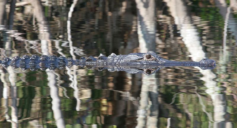 """ Long Gator Reflection"""