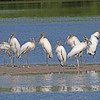 """ Eight Wood Storks at the Bar""<br /> <br /> 39 x 30 Framed"
