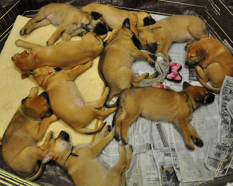 Ten chinook puppies take a nap, at The Remick Country Doctor Museum and Farm, in Tamworth, NH, during their annual Ice Harvesting and Winter Carnival event, held on Saturday, February 13, 2010. Visitors were treated to a variety of events and activities, which included, dogsled rides for children, ice harvesting demonstrations, a snowball throwing contest, horse-drawn wagon rides, a snowshoe obstacle course, and more...