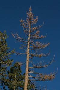 Tahoe tree