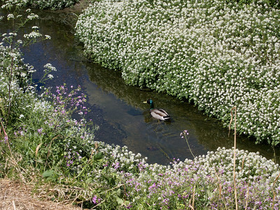 Saw a few mallards along the creek.