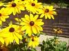 Rockport black-eyed susans and bees
