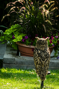 Zen and the Eurasian Eagle Owl