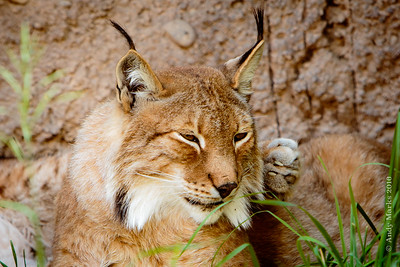 Siberian Lynx enjoying 90+ heat.
