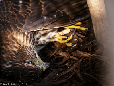 Young Cooper's Hawk hit the small mammal house window: it's eyes closed seconds after this.