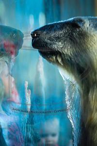 Polar Bear, fascinating the kids
