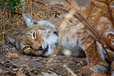 Siberian Lynx (captive & tired after 100 degree day)