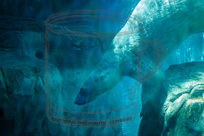 Polar Bear - 4  (Context sensitive aware fill used to remove 2 arms in the picture)