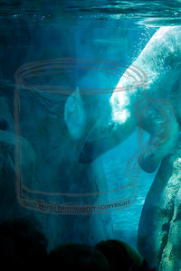 Polar Bear - 3