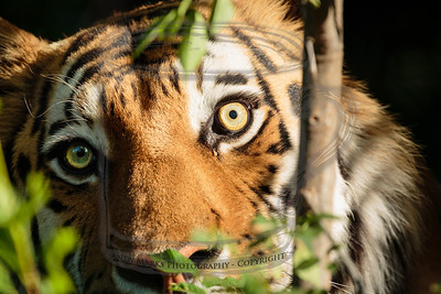 Paused pacing tiger - 2