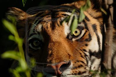 Paused pacing tiger.