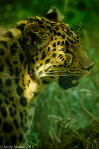Amur Leopard, as it hear's it's breakfast being prepared