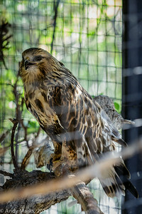 Rough legged hawk, in a tiny mesh cage, trying to cool itself.