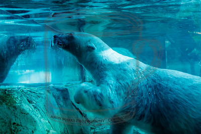 Polar Bear - 6