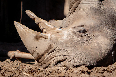 Rhino, in mud, with a well worn 2nd horn.