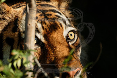 paused pacing tiger - 3