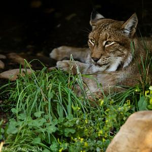 Syberian Lynx II